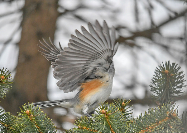 """<div class=""""jaDesc""""> <h4>Tufted Titmouse Take-off - February 17, 2019 </h4> <p>You rarely see all the lovely feathers under the wing.</p></div>"""