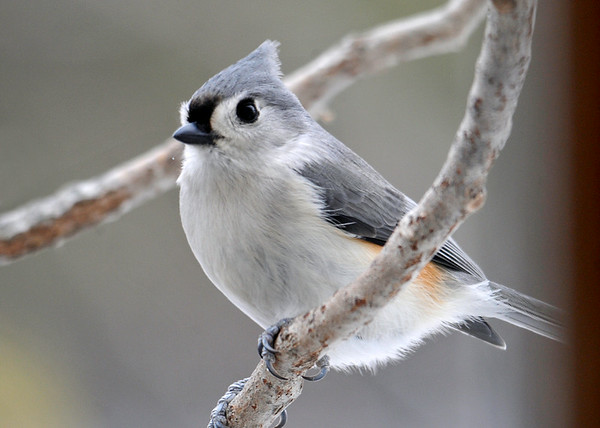 """<div class=""""jaDesc""""> <h4> Tufted Titmouse Close-up - April 10, 2014 </h4> <p>This Tufted Titmouse speedster paused just long enough for me to get this nice close-up.</p> </div>"""