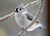 "<div class=""jaDesc""> <h4> Tufted Titmouse Close-up - April 10, 2014 </h4> <p>This Tufted Titmouse speedster paused just long enough for me to get this nice close-up.</p> </div>"