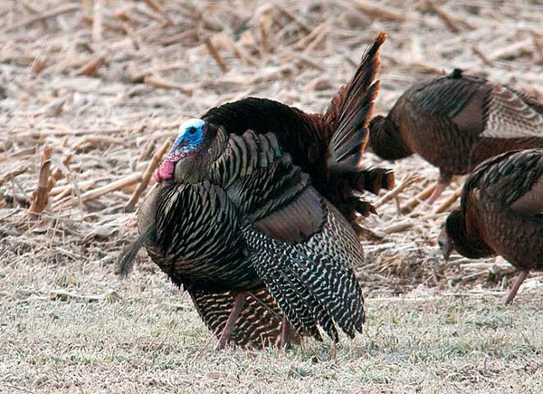 """<div class=""""jaDesc""""> <h4> Tom Turkey Courting #1 - March 18, 2010</h4> <p> This tom Turkey was strutting his stuff among about 15 hens in a cornfield.  He seemed to be seeking the attention of 3 in particular.</p> </div>"""