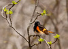 "<div class=""jaDesc""> <h4> Male Redstart - 1st of Year - April 29, 2011 </h4> <p> I heard this male Redstart in trees along the woods edge.  It took me a few minutes to locate him visually because he is so small and blends in with the dark tree limbs.  He was singing loudly as he moved among branches.</p> </div>"