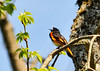 "<div class=""jaDesc""> <h4> Male Redstart Singing - May 14, 2014 </h4> <p>The female Redstarts have not arrived yet.  So this male Redstart was high up in a tree singing away to attract the first female that shows up.  There were at least 3 Redstarts in the same general area.  Photo taken at Bement-Billings Farmstead in Newark Valley.</p> </div>"