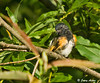 "<div class=""jaDesc""> <h4> Male Redstart Between Feather Strokes - August 27, 2009</h4> <p>This male Redstart was in the middle of a vigorous grooming session.  He was pretty deep in the brush, but the morning sunlight was reaching in.</p> </div>"