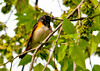 "<div class=""jaDesc""> <h4> Male Redstart Up High in Tree - May 17, 2013 </h4> <p>These little guys seem to always land way up in the trees. so here is a belly shot of a male Redstart.</p> </div>"