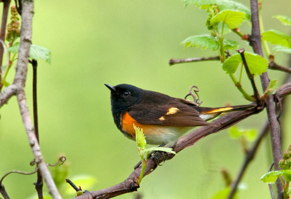 """<div class=""""jaDesc""""> <h4>Male Redstart in Thicket - June 27, 2011 </h4> <p> This male Redstart hangs out with the Catbirds in thickets by the road below our house.  I see him most mornings when I take Coby for a walk.  The female is probably on a nest nearby, but I have not seen her.</p> </div>"""