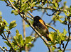"<div class=""jaDesc""> <h4> Male Redstart Looking for Bugs - June 3, 2010 </h4> <p> Last year it took me most of the summer to find a Redstart. This year I saw this male Redstart in early May as I was getting out of my truck at a local hiking trail.  He was moving around quickly through the trees eating bugs and singing.</p> </div>"