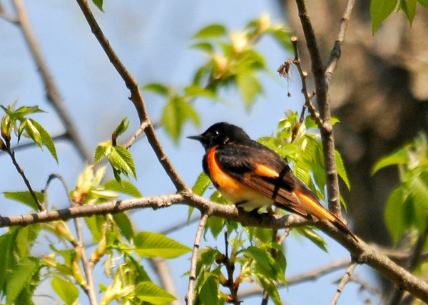 "<div class=""jaDesc""> <h4> Male Redstart in Morning Sun - May 14, 2014 </h4> <p>This male Redstart kept his distance from me moving rapidly through the trees catching bugs.  Occasionally he would not be obstructed by the leaves. </p> </div>"