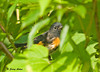 "<div class=""jaDesc""> <h4> American Redstart - 1st Time Sighting - July 28, 2009</h4> <p> My brother-in-law spotted this male American Redstart in the thick brush by the road below our house.  This little warbler stays well hidden most of the time while he feeds on bugs.</p> </div>"