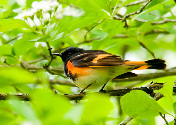 """<div class=""""jaDesc""""> <h4> Male Redstart Having Breakfast - May 25, 2013 </h4> <p>A male Redstart was enjoying a breakfast of bugs as he moved about the branches in this apple tree.</p> </div>"""