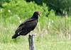 "<div class=""jaDesc""> <h4> Turkey Vulture Soaring - June 7, 2010</h4> <p> This is one of 4 Turkey Vultures that were lined up on fence posts along a country road. They were taking turns on some road kill.</p> </div>"