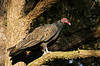 """<div class=""""jaDesc""""> <h4> Turkey Vulture Perched in Sunny Spot - November 6, 2013</h4> <p> I noticed this Turkey Vulture perched in a tree by the side of the road.  He did not mind my presence as I got photos from my truck.  In the bright sunlight his feathers showed a lot more color than the usual black appearance.</p> </div>"""
