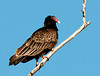 "<div class=""jaDesc""> <h4> Turkey Vulture Sunning - March 27, 2011</h4> <p> While driving along the eastern side of Cayuga Lake, I spotted a Turkey Vulture soaring up ahead.  As I got closer, he landed in a dead tree next to the road.  The Turkey Vulture gets its name from the red skin on its head and dark body feathers that resemble a Turkey.</p> </div>"