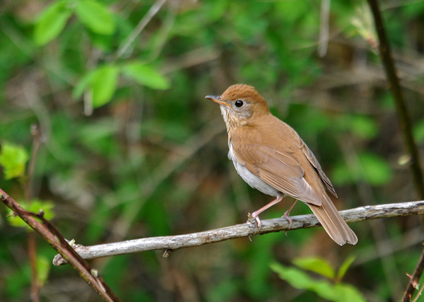 """<div class=""""jaDesc""""> <h4> Veery on Perch - May 14, 2016</h4> <p>A pair of Veeries were flying back and forth along a stream in Shindagin Hollow Forest in NY.  This one stopped right in front of me to rest on a branch.</p> </div>"""