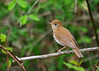 "<div class=""jaDesc""> <h4> Veery on Perch - May 14, 2016</h4> <p>A pair of Veeries were flying back and forth along a stream in Shindagin Hollow Forest in NY.  This one stopped right in front of me to rest on a branch.</p> </div>"