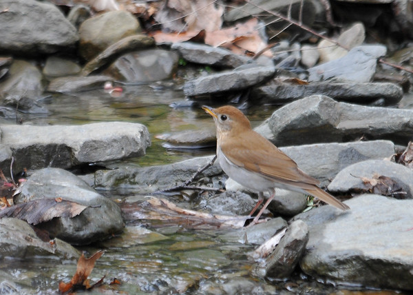 """<div class=""""jaDesc""""> <h4> Veery Facing Up Stream - May 14, 2016</h4> <p>He saw something and flipped around.  Shindagin Hollow Forest in NY.</p> </div>"""