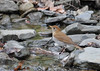 "<div class=""jaDesc""> <h4> Veery Facing Up Stream - May 14, 2016</h4> <p>He saw something and flipped around.  Shindagin Hollow Forest in NY.</p> </div>"