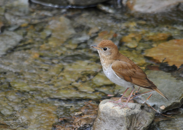 "<div class=""jaDesc""> <h4> Veery Checking Me Out - May 14, 2016</h4> <p>He came very close to me to check out what I was up to.  Shindagin Hollow Forest in NY.</p> </div>"