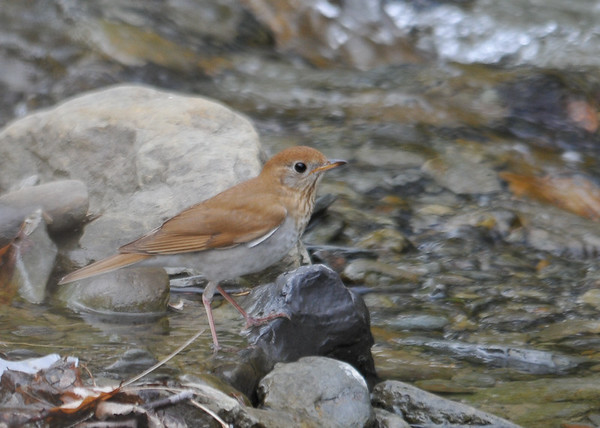 "<div class=""jaDesc""> <h4> Veery on Rock in Stream #2 - May 14, 2016</h4> <p>Working down the strem a few rocks at a time.  Shindagin Hollow Forest in NY.</p> </div>"