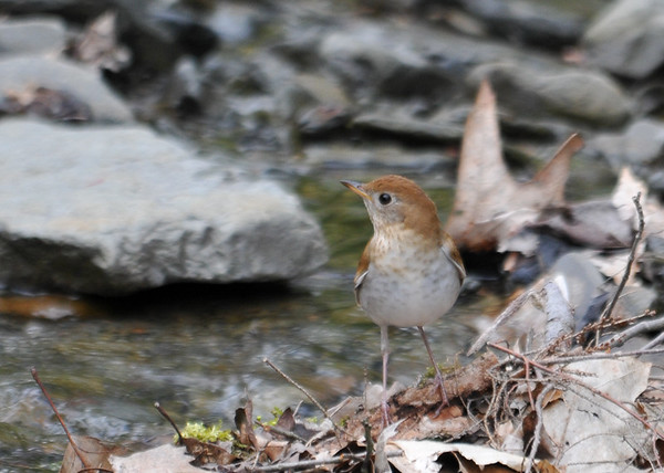 "<div class=""jaDesc""> <h4> Veery Looking Up Stream - May 14, 2016</h4> <p>Looking back to make sure he did not miss any bugs behind him.  Shindagin Hollow Forest in NY.</p> </div>"