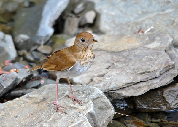 "<div class=""jaDesc""> <h4> Veery on Rock in Stream - May 14, 2016</h4> <p>Bugs were flying around over the water in this stream.  The Veery would land on a rock, fix on a bug, grab it and then move on down the stream.  Shindagin Hollow Forest in NY.</p> </div>"