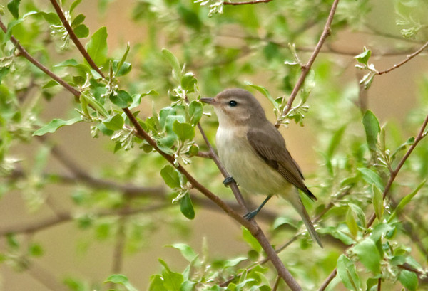 "<div class=""jaDesc""> <h4> Warbling Vireo in Spring Foliage - May 2, 2012</h4> <p> It was a nice surprise to see this cute little Warbling Vireo the other morning.  He was in a tree right next to the one where I saw the Palm Warbler.  They winter in Mexico and Central America, so he has had a long migration trip.</p> </div>"