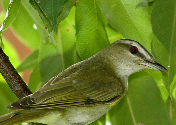"<div class=""jaDesc""> <h4> Red-eyed Vireo Close-up - July 8, 2006</h4> <p> A neighbor tipped me off to the presence of a Red-eyed Vireo in their backyard.   It turned out that it was making runs to its basket shaped nest hanging from a cherry tree branch.</p> </div>"