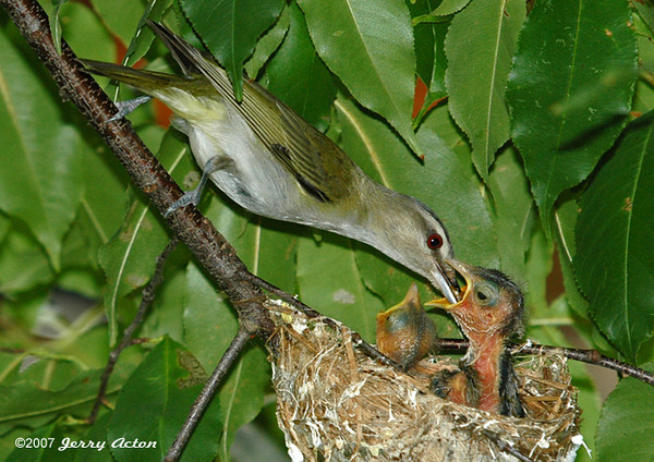 """<div class=""""jaDesc""""> <h4> Red-eyed Vireo Feeding Chicks - July 8, 2006</h4> <p> It was feeding time at the Red-eyed Vireo nest for 3 chicks (only 2 visible in this shot).  At first, the parents were wary of my presence 20 feet from the nest, but they quickly ignored me as the chicks cheeped to be fed.</p> </div>"""