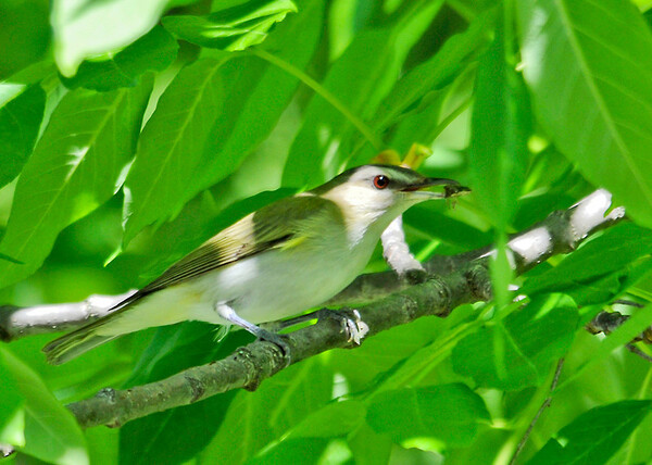 "<div class=""jaDesc""> <h4> Red-eyed Vireo with Bug - June 4, 2014</h4> <p> I have been hearing Red-eyed Vireos in the woods for several months, but never close to the road. this morning I caught a motion in a tree right by the road; a nice Vireo with a bug.</p> </div>"