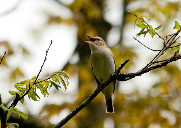 """<div class=""""jaDesc""""> <h4> Red-eyed Vireo Singing - May 11, 2011</h4> <p> This Red-eyed Vireo was signing constantly in a tall roadside tree along Shindagin Hollow Road in Tioga County, NY.  He was probably announcing his nesting territory.</p> </div>"""