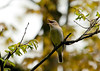 "<div class=""jaDesc""> <h4> Red-eyed Vireo Singing - May 11, 2011</h4> <p> This Red-eyed Vireo was signing constantly in a tall roadside tree along Shindagin Hollow Road in Tioga County, NY.  He was probably announcing his nesting territory.</p> </div>"