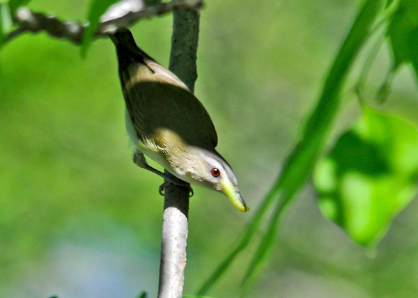 "<div class=""jaDesc""> <h4> Red-eyed Vireo with Caterpillar - June 4, 2014</h4> <p> It took less than 30 seconds for her to find her next breakfast tidbit - a juicy green caterpillar.</p> </div>"
