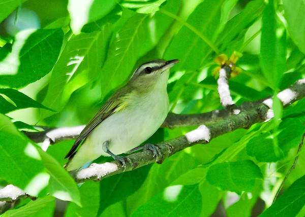 "<div class=""jaDesc""> <h4> Red-eyed Vireo - Bug Gone - June 4, 2014</h4> <p> She tossed her head back and swallowed the bug.  She was looking very pleased with herself.  Then on to the next branch for more goodies.</p> </div>"