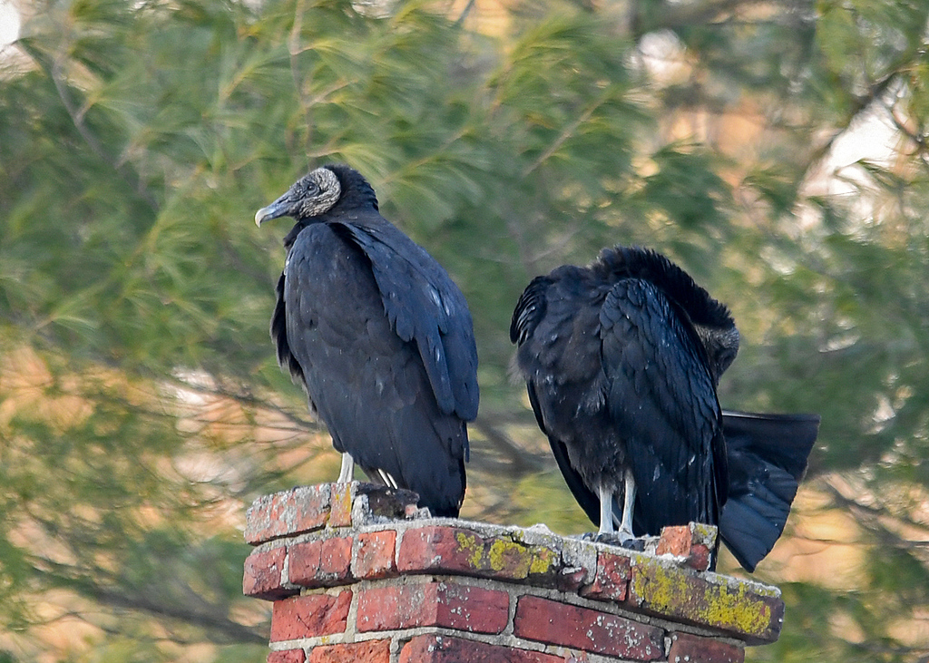 "<div class=""jaDesc""> <h4> Younger Black Vulture Grooming Tail - March 10, 2018</h4> <p> Notice the very straight tail feathers that were pointed out to the side during grooming.</p> </div>"