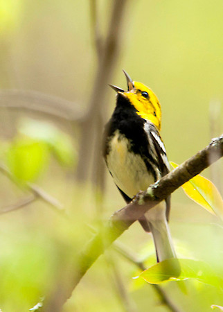 "<div class=""jaDesc""> <h4> Black-throated Green Warbler Singing #2 - May 10, 2013 </h4> <p></p> </div>"
