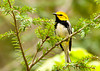 """<div class=""""jaDesc""""> <h4> Black-throated Green Warbler - May 10, 2013 </h4> <p> I was delighted to get shots of this beauty.  I waited for 20 minutes with him calling right in front of me, but he was hidden among the leafy branches.  Finally, he popped out to look around right in front of me.  Interestingly, the only olive green on him is a little patch at the end of the line coming off the back of his eye.</p> </div>"""