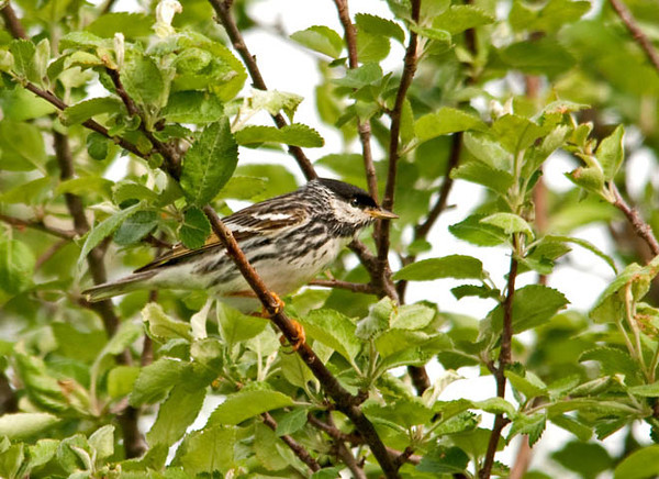 "<div class=""jaDesc""> <h4> Blackpoll Warbler Foraging for Bugs - May 22, 2011 </h4> <p> We tracked this guy's call for about 15 minutes before we finally spotted him. He is on his way to the Canadian boreal forests; a trip that began in South America and will cover a total of 2500 miles.</p> </div>"