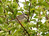 """<div class=""""jaDesc""""> <h4> Blackpoll Warbler Foraging for Bugs - May 22, 2011 </h4> <p> We tracked this guy's call for about 15 minutes before we finally spotted him. He is on his way to the Canadian boreal forests; a trip that began in South America and will cover a total of 2500 miles.</p> </div>"""