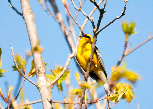 """<div class=""""jaDesc""""> <h4> Male Blue-winged Warbler Singing - May 7, 2013 </h4> <p></p> </div>"""