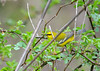 "<div class=""jaDesc""> <h4> Blue-winged Warbler Side View - May 13, 2016 </h4> <p>His blue-gray wings contrast nicely with the bright yellow body and black eye bar.  Tioga County, NY</p> </div>"