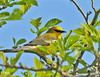 "<div class=""jaDesc""> <h4> Blue-winged Warbler in Treetop - May 16, 2010 </h4> <p>This Blue-winged Warbler was in an overgrown farm field full of apple trees and large shrubs.  He kept moving around constantly eating bugs and stopping to sing.  I was finally able to get his photo after I figured out that he was following a repetitive circuit among the trees.</p> </div>"