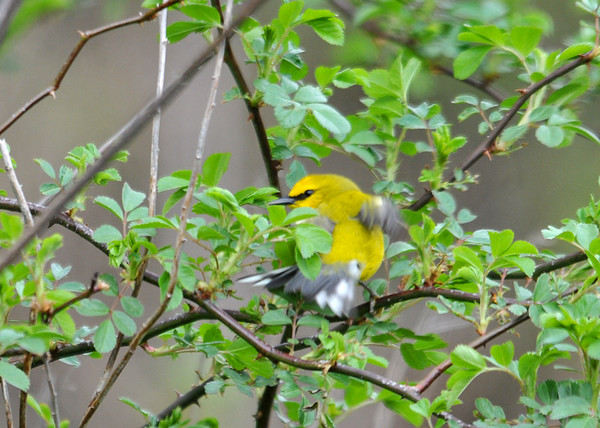 """<div class=""""jaDesc""""> <h4> Blue-winged Warbler Back View - May 13, 2016 </h4> <p>Climbing around in rose bush.  Tioga County, NY</p> </div>"""