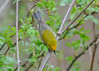 "<div class=""jaDesc""> <h4> Blue-winged Warbler Top View - May 13, 2016 </h4> <p>This Blue-winged Warbler was looking for breakfast bugs in roadside bushes.   Tioga County, NY.</p> </div>"