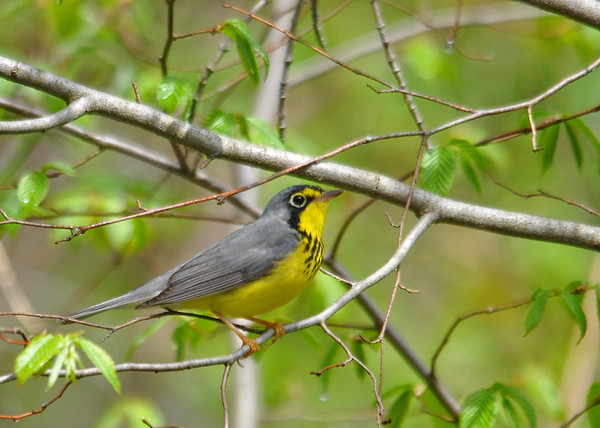 """<div class=""""jaDesc""""> <h4> Male Canada Warbler on Branch - May 13, 2016 </h4> <p>This male Canada Warbler was moving among bushes along a stream at the Shindagin Hollow State Forest in NY.  It took me a few tries to catch him on a perch.</p> </div>"""