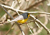 "<div class=""jaDesc""> <h4> Male Canada Warbler Foraging on Insects - May 6, 2011 </h4> <p>  When I first spotted this male Canada Warbler, he was foraging for insects on tree branches by the side of the road. Later I saw him across a field coming out of an evergreen tree to catch bugs. Their summer range covers the northeastern US and southern Canada.</p> </div>"