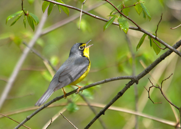 "<div class=""jaDesc""> <h4> Male Canada Warbler Singing - May 13, 2016 </h4> <p>This male Canada Warbler was intent on finding a mate, singing away as he moved from bush to bush.  Shindagin Hollow State Forest in NY</p> </div>"
