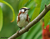 "<div class=""jaDesc""> <h4>Chestnut-sided Warbler - Front View - July 21, 2009 </h4> <p>Here is a front view of this colorful Chestnut-sided Warbler.  He was moving around quickly among shaded trees.  I was lucky to get shots of him.</p> </div>"