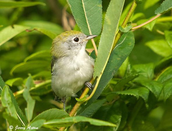 "<div class=""jaDesc""> <h4>Juvenile Chestnut-sided Warbler Close-up - July 29, 2009 </h4> <p>Here the juvenile Chestnut-sided Warbler popped out of a dense bush for a portrait shot.</p> </div>"