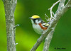"<div class=""jaDesc""> <h4>Male Chestnut-sided Warbler - July 21, 2009 </h4> <p>This is a first sighting and photo for me of this colorful male Chestnut-sided Warbler. I was looking for Common Yellowthroat Warblers when this guy perched right in front of me. He is a fast mover, contantly searching for bugs on leaves.</p> </div>"