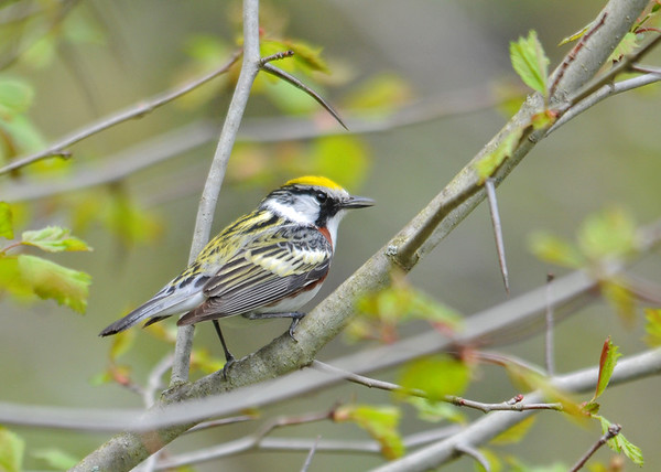 """<div class=""""jaDesc""""> <h4>Chestnut-sided Warbler on Brief Stop - May 13, 2016</h4> <p> This guy was quite a challenge to catch.  He was constantly on the move looking for morning bugs.  Shindagin Hollow Forest, NY</p> </div>"""
