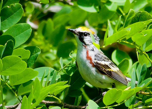 """<div class=""""jaDesc""""> <h4> Male Chestnut-sided Warbler Looking for Bugs - June 28, 2012 </h4> <p> As I was driving slowly along the woods near my house, I heard alot of chirping in a grove of trees beside the road.  It sounded like juvenile birds begging to be fed.  Then I saw this adult Chestnut-sided Warbler moving around in the trees grabbing caterpillars to feed his newly fledged chicks.</p> </div>"""